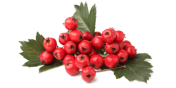 Hawthorn Berry Featured Image
