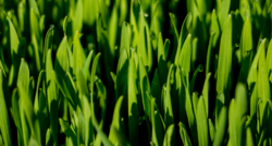 wheatgrass close-up