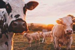 bovine-collagen-1
